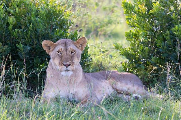 Een leeuwin heeft het zich gemakkelijk gemaakt in het gras en rust