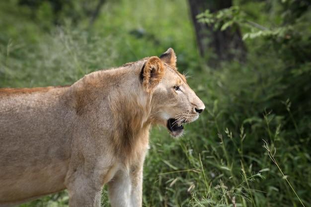 Een leeuwin in het gras