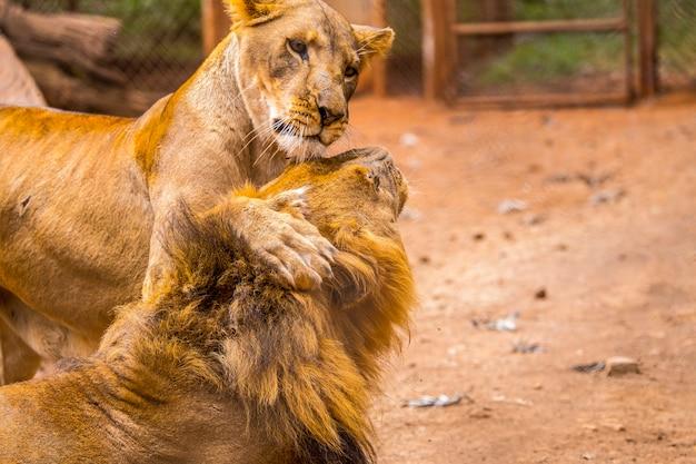 Een leeuwin speelt met een volwassen leeuw. bezoek aan het belangrijke weeshuis in nairobi van onbeschermde of gewonde dieren. kenia