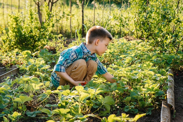Een leuke en gelukkige peuterjongen verzamelt en eet rijpe aardbeien in een tuin op een de zomerdag bij zonsondergang.