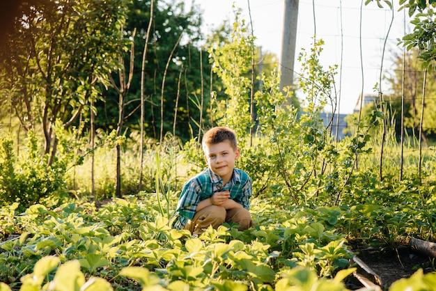 Een leuke en gelukkige peuterjongen verzamelt en eet rijpe aardbeien in een tuin op een zomerdag bij zonsondergang. gelukkige jeugd. gezond en milieuvriendelijk gewas.