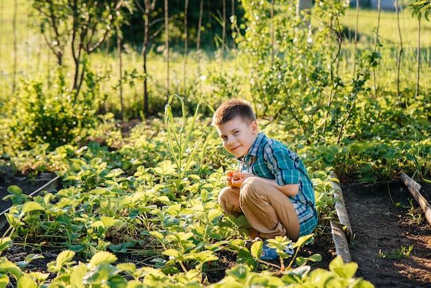 Een leuke en vrolijke peuterjongen verzamelt en eet rijpe aardbeien in een tuin op een zomerdag bij zonsondergang. gelukkige jeugd. gezond en milieuvriendelijk gewas.