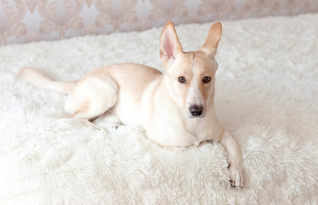 Een lichtgekleurde huishond ligt op de bank en kijkt naar de camera.