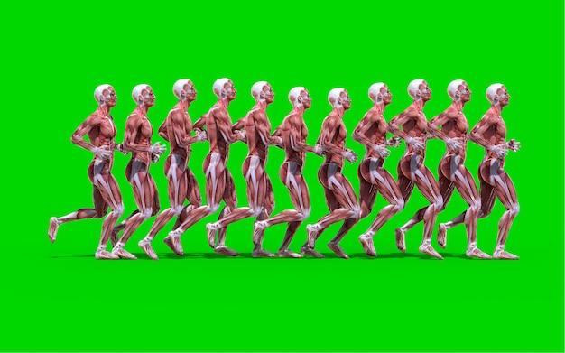 Een lopend mannelijk anatomiecijfer met spierenkaart dat op groene achtergrond wordt geïsoleerd.