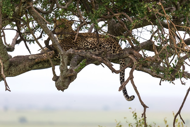 Een luipaard is comfortabel tussen de takken van een boom gaan zitten om te rusten