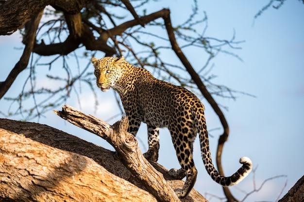 Een luipaard loopt op en neer langs de boom op zijn takken