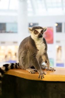 Een maki in de dierentuin zit en ziet er recht uit. ringstaartmaki, ringstaartmaki, catta-zoogdieren.