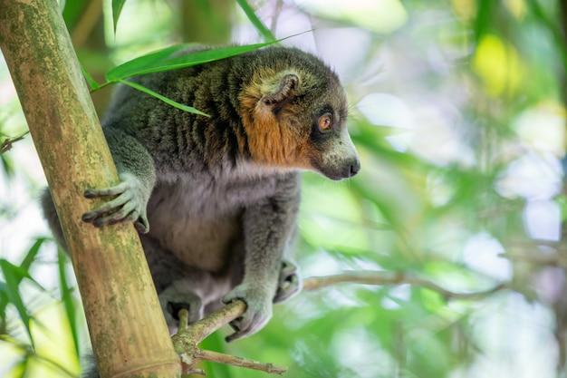 Een maki zit op een tak en kijkt naar de bezoekers van het nationale park.