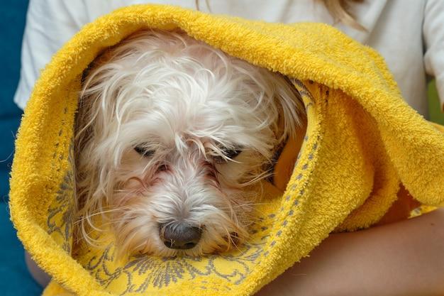 Een maltees schoothondje met een nat hoofd is in een handdoek gewikkeld.