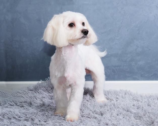 Een maltese hond kijkt weg tegen een grijze muur op een mat