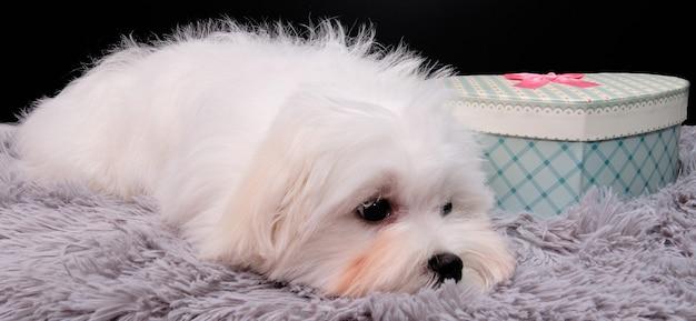 Een maltese hond ligt naast een hartvormige doos op een grijze mat