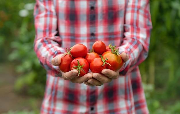 Een man-boer heeft een oogst van tomaten in zijn handen. selectieve aandacht. natuur.