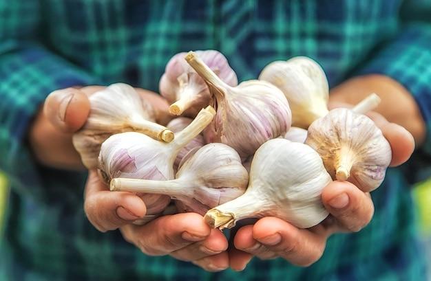 Een man-boer houdt een oogst knoflook in zijn handen. selectieve aandacht.