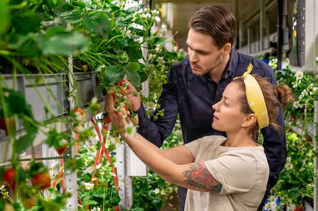 Een man en een vrouw kijken naar zaailingen van een nieuw soort aardbei in verticale boerderij