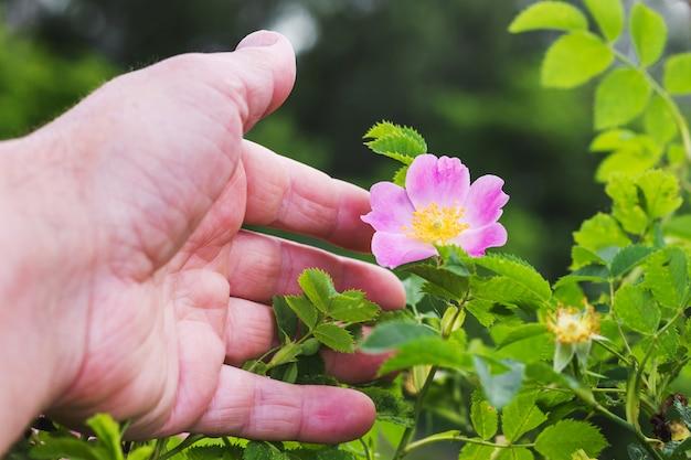 Een man hand reikt naar bloem een rozenbottel