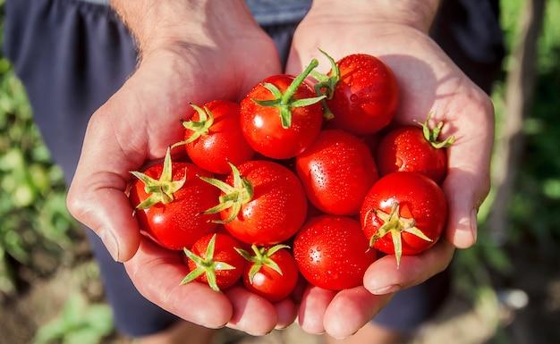 Een man houdt zelfgemaakte tomaten in zijn handen. selectieve aandacht.