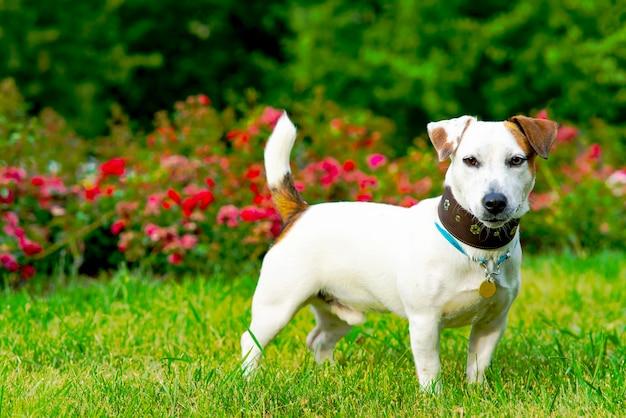 Een man traint zijn hond jack russell terrier buiten en voert je huisdier in het park handtraining speelt...