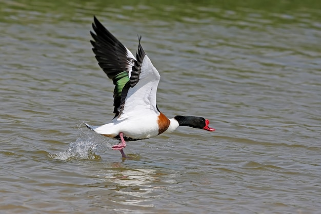 Een mannelijke bergeend stijgt op van het groene water