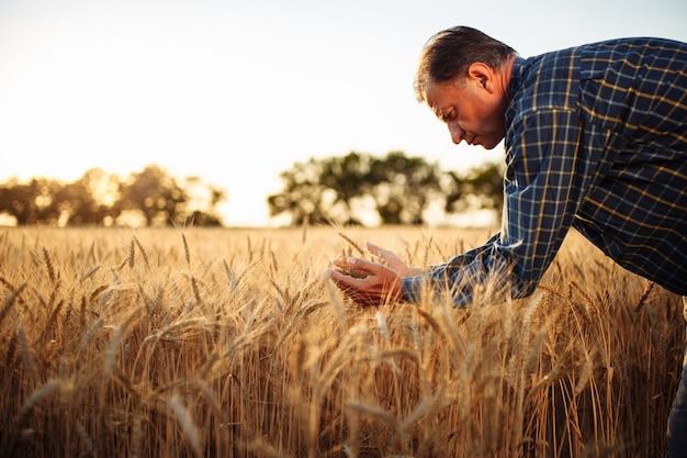 Een mannelijke boer onderzoekt de kwaliteit van de nieuwe oogst granen midden op het tarweveld