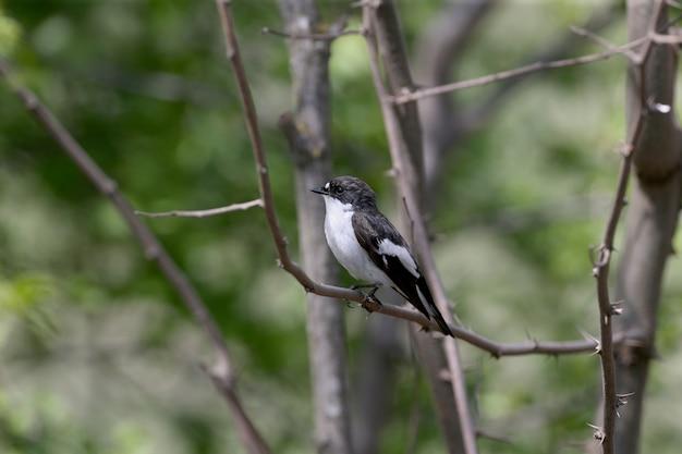 Een mannelijke bonte vliegenvanger (ficedula hypoleuca) op een tak close-up in zijn natuurlijke habitat.