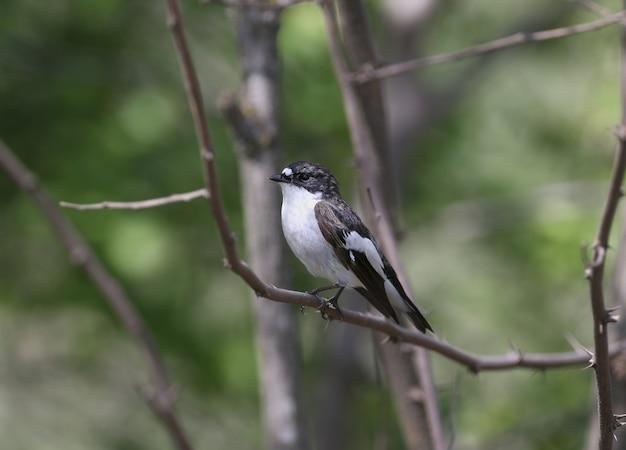 Een mannelijke bonte vliegenvanger (ficedula hypoleuca)