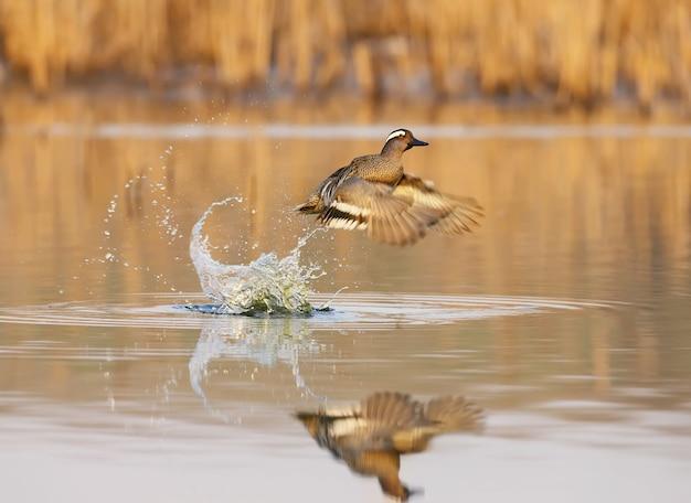 Een mannelijke garganey stijgt op uit het water in zacht ochtendlicht