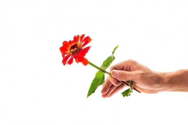 Een mannelijke hand die een tot bloei komende geïsoleerde bloem van zinnia houdt
