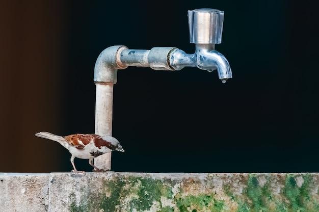Een mannelijke huismus die water van een waterband probeert te drinken