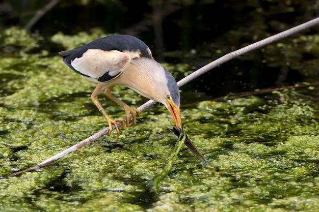 Een mannelijke kleine roerdomp zit op een diagonale tak en houdt een vis in zijn bek