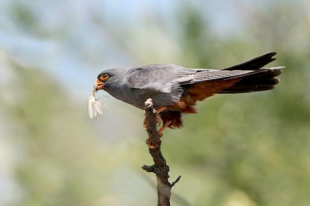 Een mannetje van de roodvoetvalk zit op de tak met een bidsprinkhaan in de bek
