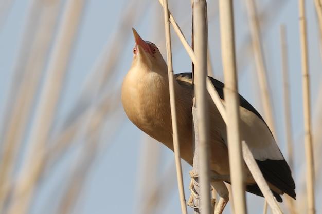 Een mannetjes roerdomp in broedkleed zit op riet en zingt een bruiloftslied. een opgeblazen keelzak van een vogel is duidelijk zichtbaar