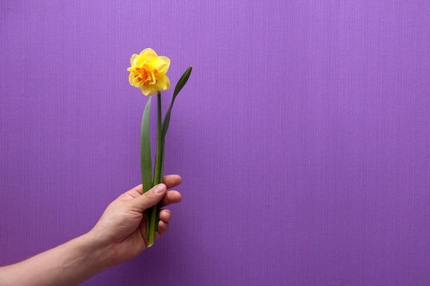 Een mans hand houdt een bloem vast. lente bloemen narcissen. op een stevige achtergrond. plaats onder tekst.
