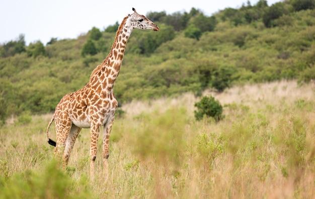Een masai-giraf in savanne op een weide