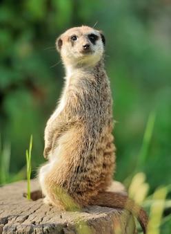 Een meerkat die rechtop staat en alert kijkt