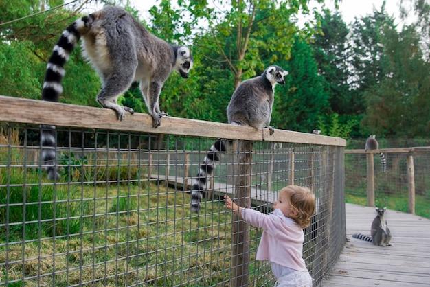 Een meisje in de dierentuin wil de staart van een maki aanraken. ringstaartmaki