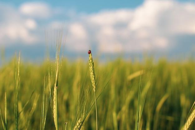 Een meisje loopt in de zomer in een veld waar rogge of tarwe groeit. ze heeft een hoed in haar handen. 1