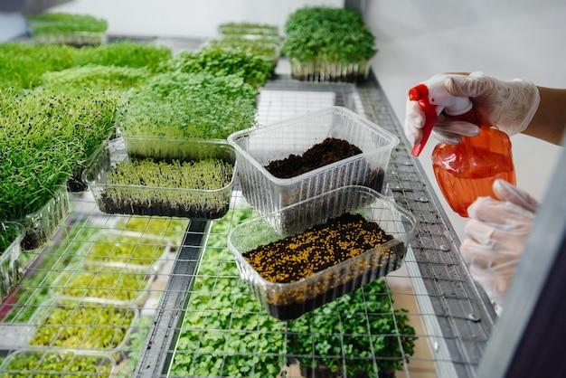 Een meisje plant zaden van micro greens close-up in een moderne kas. gezond dieet.