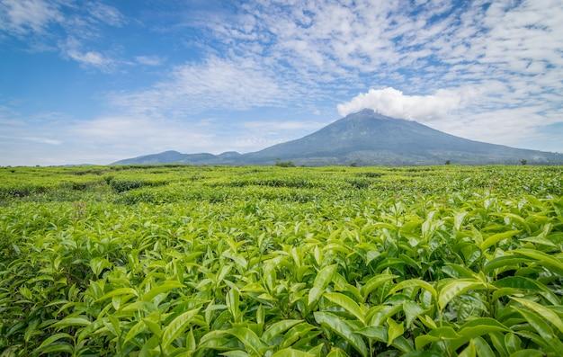 Een mening van kerinciberg van theeaanplanting in kayuaro, jambi.
