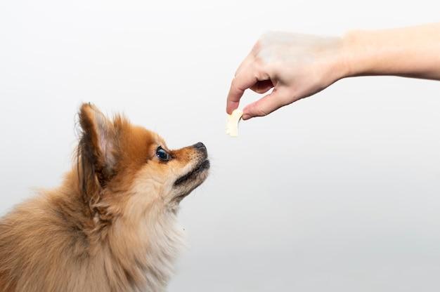 Een mens voedt een pommeren hond met zijn hand.