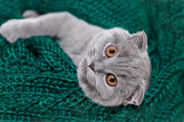 Een met hangende oren schotse kat liegt. een dier op een groene achtergrond. leuk voor huisdieren