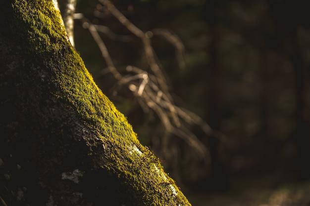 Een met mos overwoekerde boom wordt beschenen door de avondzon.