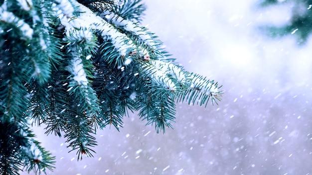 Een met sneeuw bedekte sparrentak tijdens een sneeuwval, het sneeuwt buiten