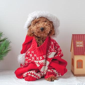 Een miniatuurpoedel zit in een kersttrui naast een kerstboom en een speelgoedhuis