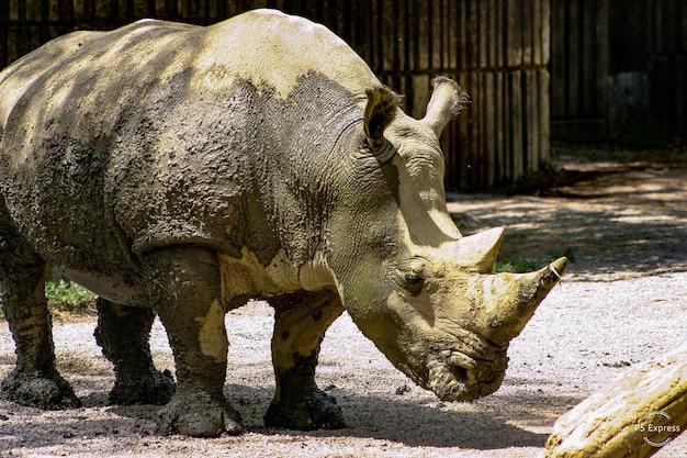 Een modderige neushoorn in een dierentuin
