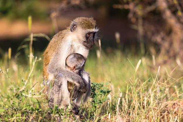 Een moederaap zit met een baby in haar armen