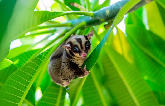 Een mollige schattige suikerzweefvliegtuig klimt op de boom in de tuin. (