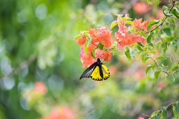 Een monarchvlinder zat op gele en oranje bougainvillea-bloemen die nectar drinken.