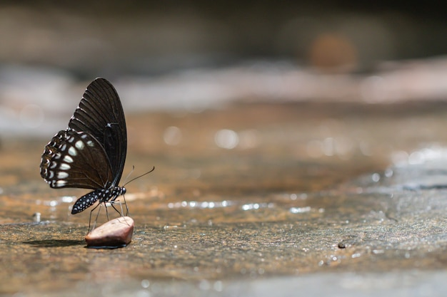 Een mooie birmese raven-vlinder met bokeh in de aard