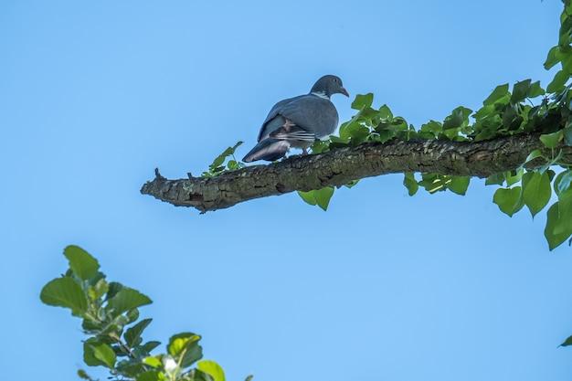 Een mooie dikke houtduif columba palumbus zat in de lente op een tak in zijn natuurlijke omgeving