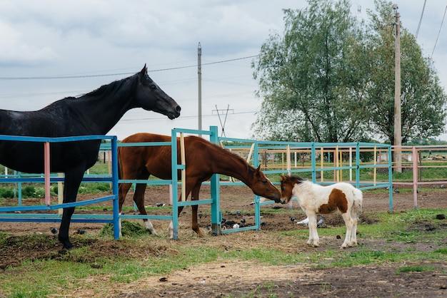 Een mooie en jonge pony ruikt en toont interesse in de volwassen paarden op de ranch. veehouderij en paardenfokkerij.
